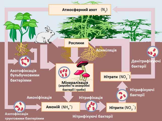 Кругообіг-азоту-у-біосфері