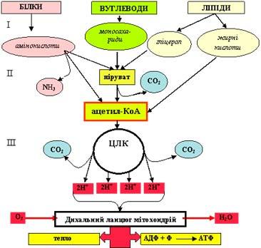 Схема-катаболізму-поживних-речовин